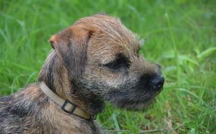 image of Border Terrier