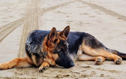 image of German Shepherd Dog