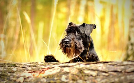 image of Miniature Schnauzer