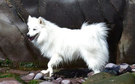 image of Japanese Spitz