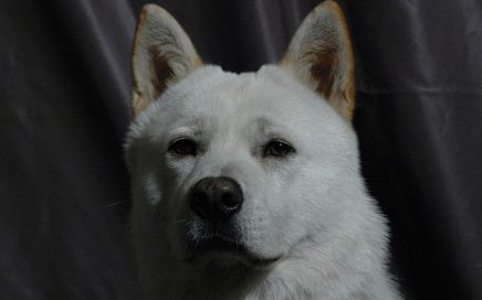 image of Korean Jindo