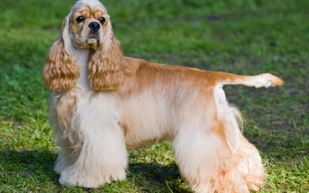 image of American Cocker Spaniel