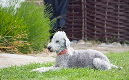 image of Bedlington Terrier