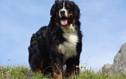 image of Bernese Mountain Dog