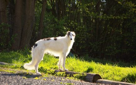 image of Borzoi