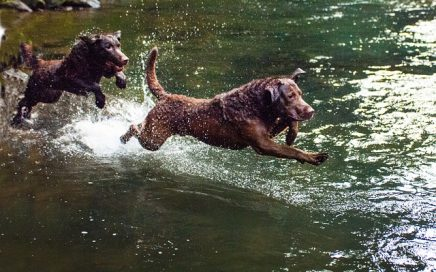 image of Chesapeake Bay Retriever