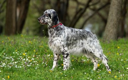image of English Setter