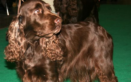image of Field Spaniel