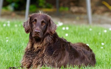 image of German Longhaired Pointer