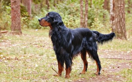 image of Gordon Setter