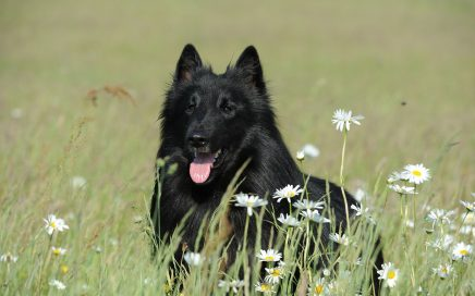 image of Belgian Shepherd Dog (Groenendael)