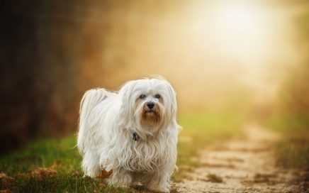 image of Havanese