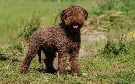 image of Lagotto Romagnolo