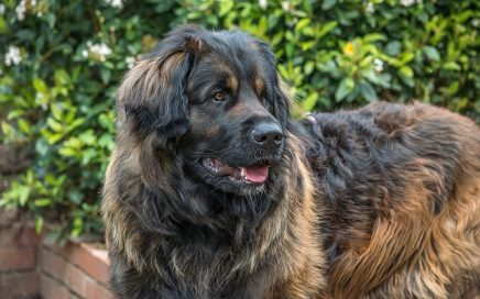 image of Leonberger