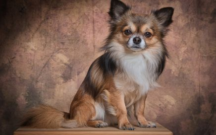 image of Chihuahua (Long Coat)