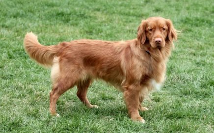 image of Nova Scotia Duck Tolling Retriever