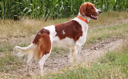 image of Irish Red & White Setter