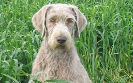 image of Slovakian Rough Haired Pointer