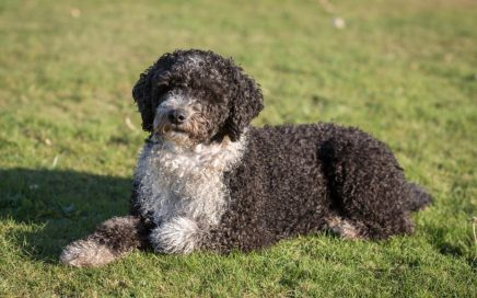 image of Spanish Water Dog