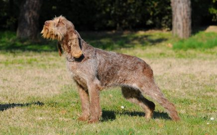 image of Italian Spinone