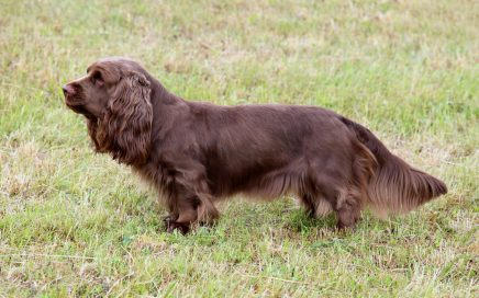 image of Sussex Spaniel