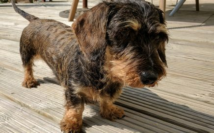image of Dachshund (Miniature Wire-Haired)