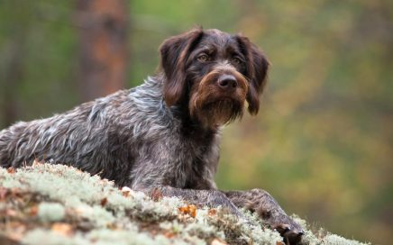 image of German Wirehaired Pointer