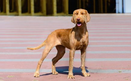 image of Hungarian Wire Haired Vizsla