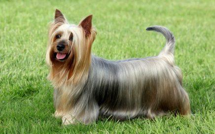image of Australian Silky Terrier