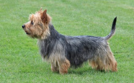 image of Australian Terrier