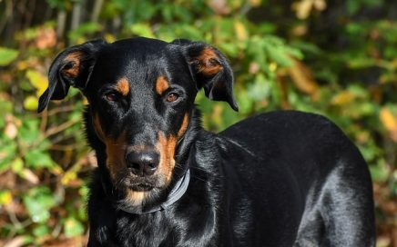 image of Beauceron