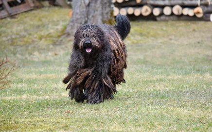 image of Bergamasco