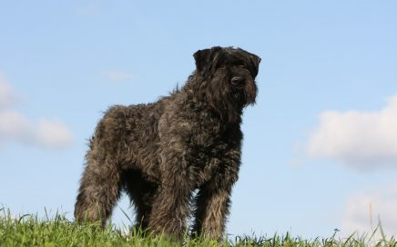 image of Bouvier Des Flandres