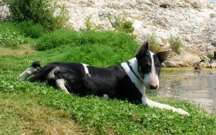 image of Bull Terrier