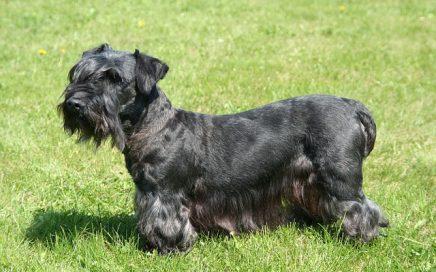 image of Cesky Terrier