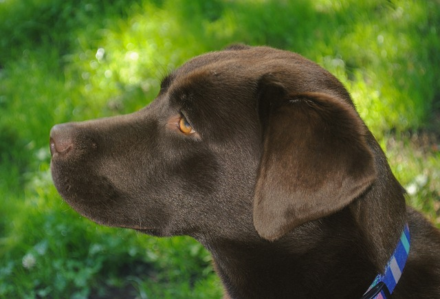head portrait of a chocolate labrador pupppy