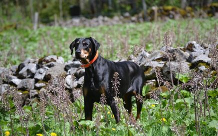 image of Dobermann