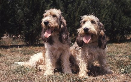 image of Basset Griffon Vendeen (Grand)