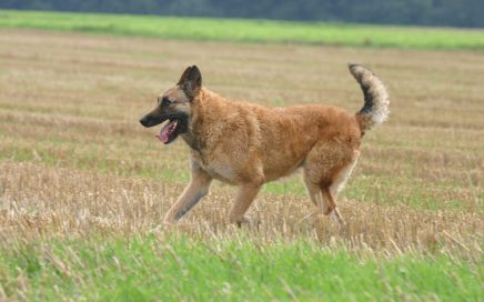 image of Belgian Shepherd Dog (Laekenois)