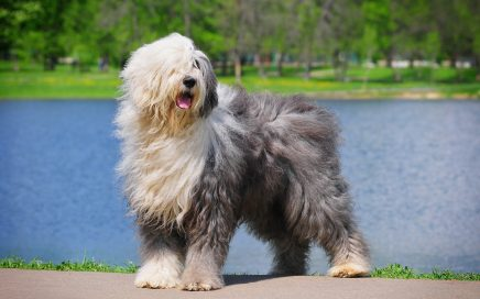 image of Old English Sheepdog