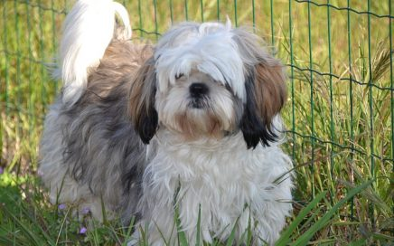 image of Shih Tzu