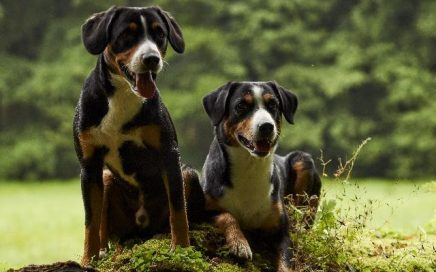 image of Entlebucher Mountain Dog