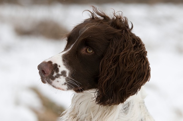 close up of English Springer Spaniel head