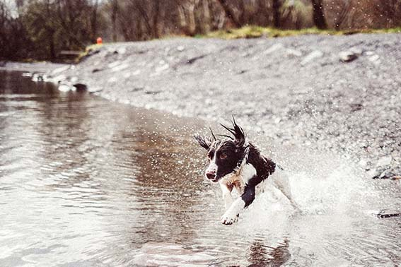 English Springer Spaniel jumping into water