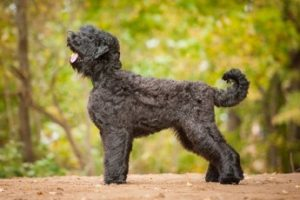 image of Russian Black Terrier