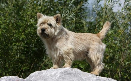 image of Cairn Terrier