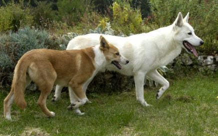 image of Canaan Dog