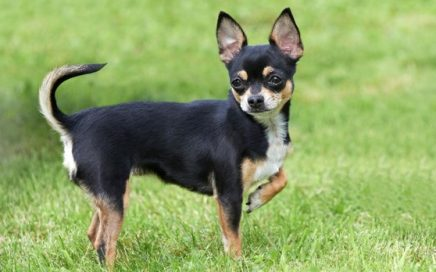 image of Chihuahua (Smooth Coat)