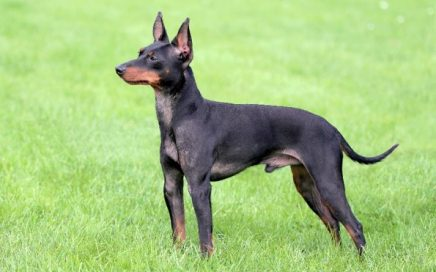 image of English Toy Terrier