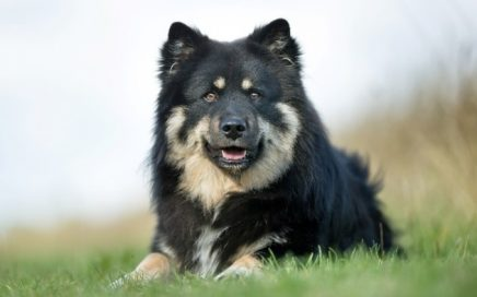 image of Finnish Lapphund